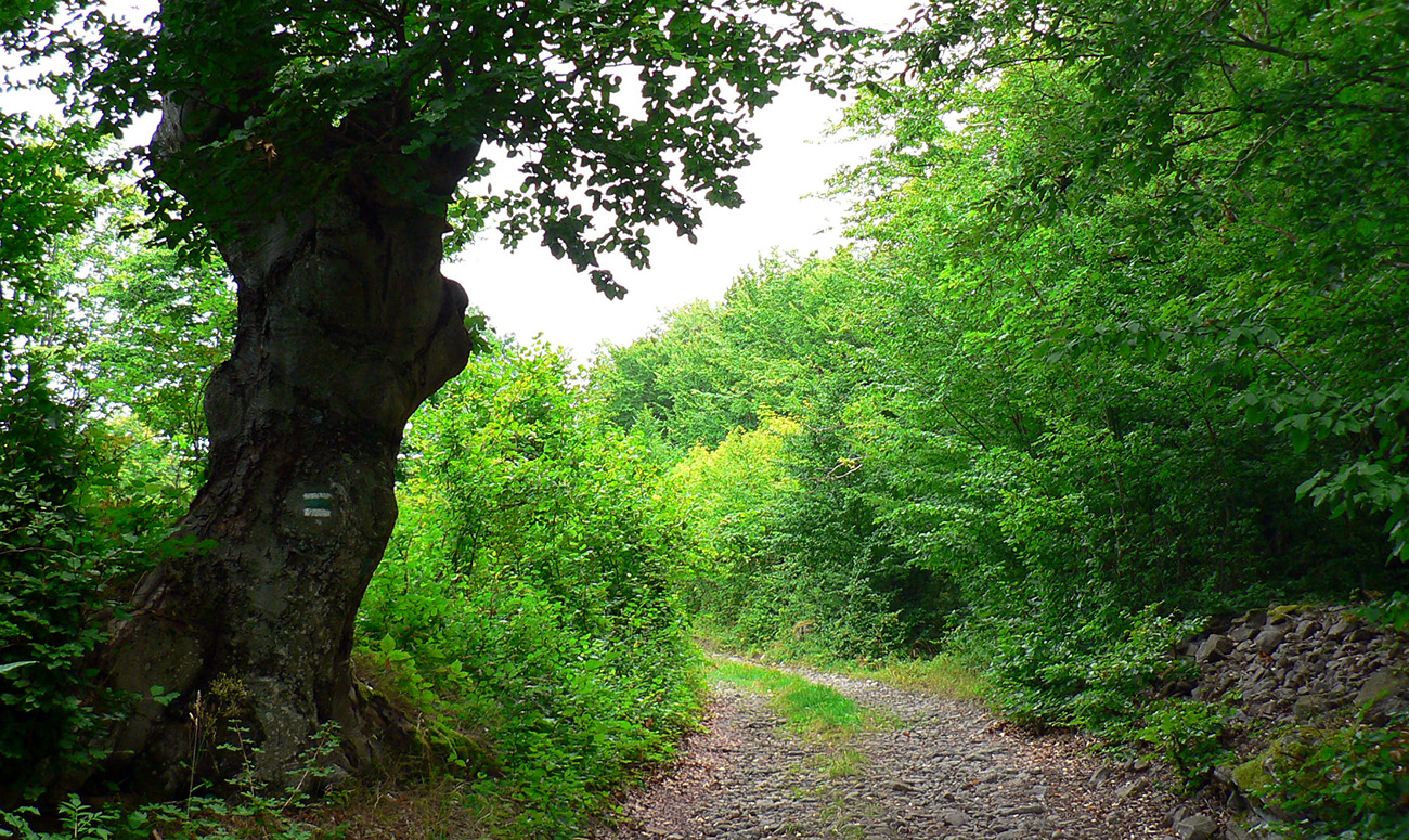 Na_začiatok_kamenná_cesta_a_staré_stromy_okolo.